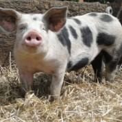 Meine kleine Farm Schwein