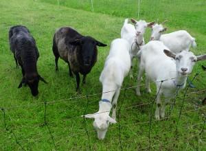 Schafkäse und Ziegenkäse von Familie Bergmann