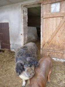 Wollschwein und Husumer Sau Ziegenbauer Penske
